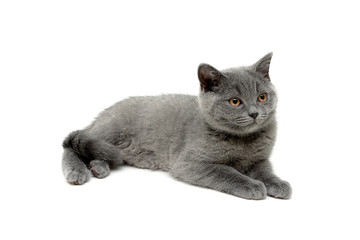 gray kitten lies on a white background
