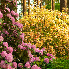 Late spring. Magnificent blossoming of rhododendrons