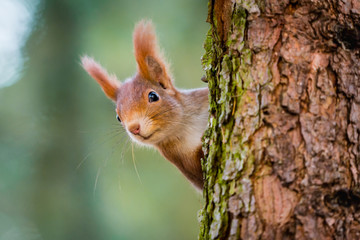 Poster Eekhoorn Curious red squirrel peeking behind the tree trunk
