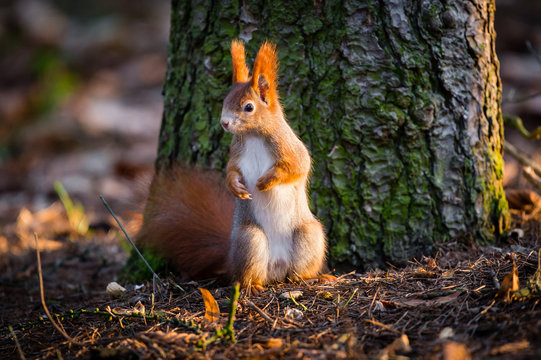 Cute red squirrel watches forest warily