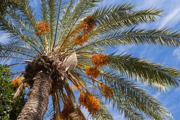 closeup date palm on a blue sky background