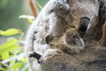 Foto op Textielframe Koala Mother and joey koala cuddling