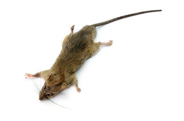 Dead rat isolated on white background