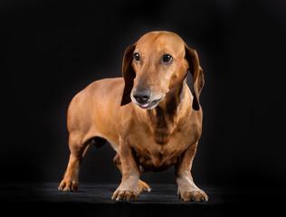 Shorthaired dachshund