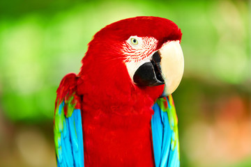 Birds, Animals. Closeup Portrait Of Bright Colorful Green-winged Red Scarlet Macaw Parrot Sitting On Branch. Travel To Thailand, Asia. Tourism.