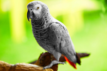 Birds, Animals. Closeup Portrait Of African Grey Parrot ( Psittacus Erithacus ) Or Jako. Travel To Thailand, Asia. Tourism.