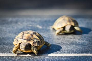 Course de tortue