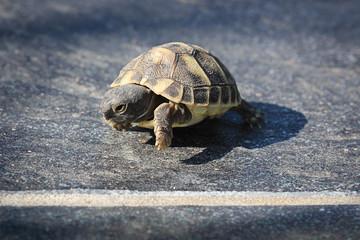 Arrivée de course d'une jeune tortue