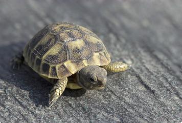 Une jeune tortue sur fond gris minéral