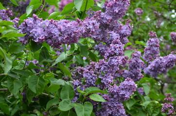 Keuken foto achterwand Lilac Blooming beautiful purple llac flowers