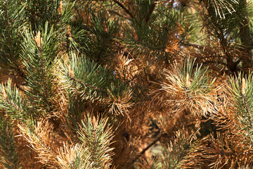 dried spruce, close-up