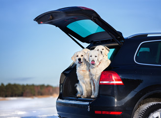 group of dogs in a car trunk
