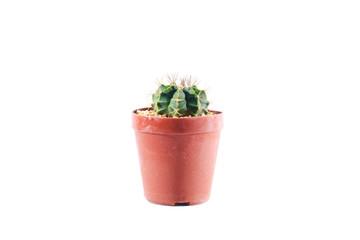 Gymnocalycium in pot, Cactus isolate on white background