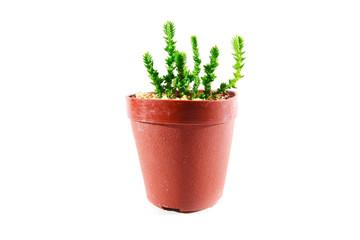 Crassula Mucosa in pot, Cactus isolate, white background
