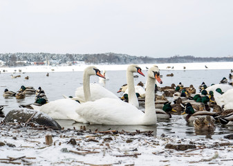 winter landscape with swans and ducks