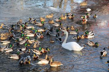 one white swan and many mallard ducks swimming in the water