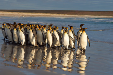 Large group of King Penguins (Aptenodytes patagonicus) standing on the beach in the early morning light at Volunteer Point in the Falkland Islands.
