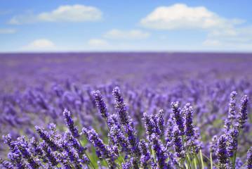 Lavender flower blooming fields horizon. Valensole Provence, Fra