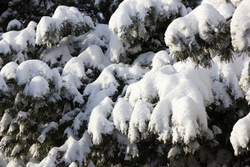 Snow on pine branches after snowfall.