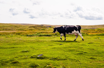 Cow walking left on grass under cloudy sky
