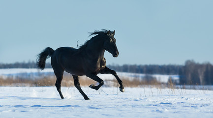 Wall Mural - Pure Bred Spanish black stallion gallops on snow meadow