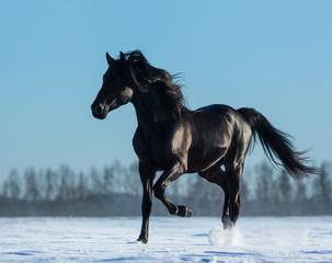 Fototapete - Pure Bred Spanish black stallion trotting on snow meadow