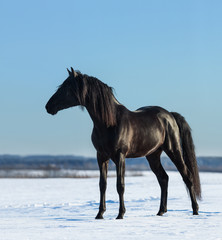 Fototapete - Pure Bred Spanish black stallion costs on snow meadow