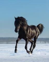 Fototapete - Pure Bred Spanish black stallion gallops on snow meadow