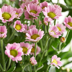 Multiple pink chrysanthemum flowers