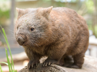 Australian common wombat stands on a log