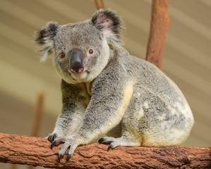 Curious koala looks into the camera