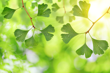 ginkgo biloba leaves with dew drops on green natural background