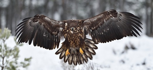 white-tailed eagle landing in winter