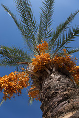 Palm tree with date fruits on the sky background. Selective focu