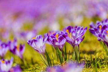 Crocuses in the Tatra Mountain, first springtime flowers