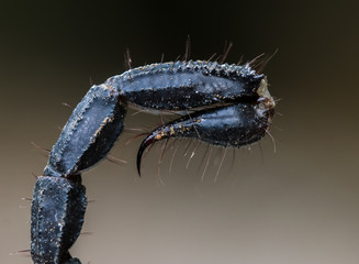macro of a scorpion stinger