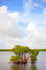 Mangrove trees in Florida Keys, beautiful nature in the park on a summer day