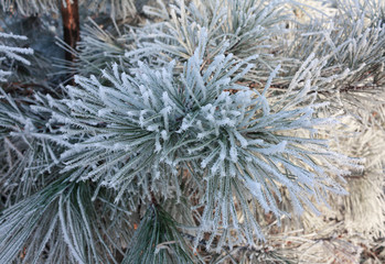 Winter frost on spruce tree close-up. Nature