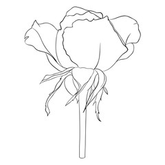 Beautiful monochrome black and white rose isolated