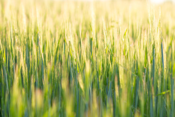 Close up barley field image with selective focus