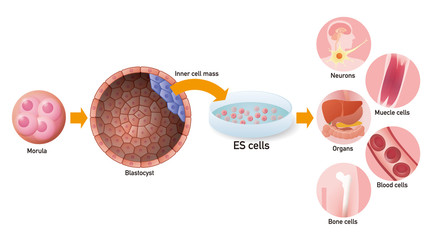 embryonic stem cell (ES cell) and regenerative medicine, vector illustration