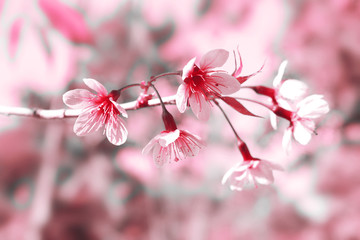 Prunus cerasoides blossom or cherry blossom Thailand, pink color tone, blur and select focus