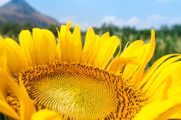 beautiful sunflower in the garden - Helianthus annuus