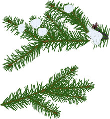 two winter green fir branches on white