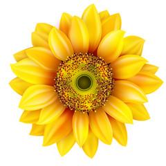 Sunflower realistic illustration. EPS 10