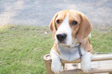 cute beagle dog boy looking