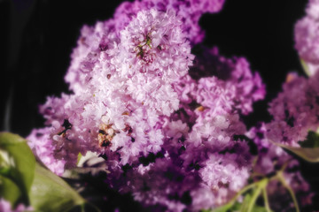Purple blooming lilacs