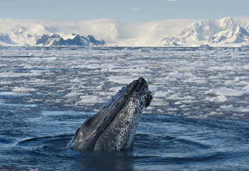 Humpback Whale looking from blue sea, with icy mountain background, Antarctica
