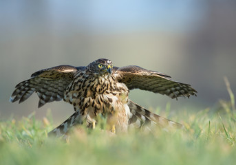 Falcon sitting on its prey, feeding, looking for danger, clean background, Czech Republic, Europe