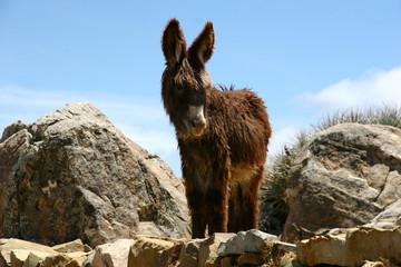 Esel auf der Isla de Sol auf dem Titicaca See in Bolivien